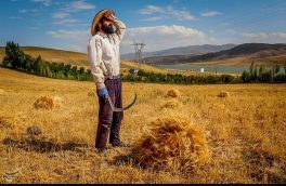 تصویری/  برداشت گندم از مزارع شهرستان اهر