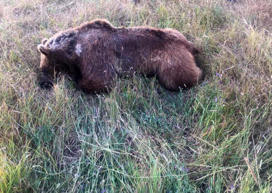 انجام تحقیقات برای شناسایی شکارچی متخلف خرس قهوهای در اهر
