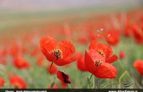 تصویری/ شقایق های وحشی طبیعت ارسباران